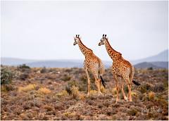 Giraffes in the wild (RudyMareelPhotography) Tags: africa wild animals yellow mammal safari giraffe savannah wilderness sanbona flickr rud flickrclickx rudymareelphotography southafrica nikon wildlife ngc natgeo natgeotravel