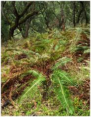 (Glenn Chickering) Tags: lakechabot woodland forest fern 52weekswithclondon california ebrpd trees flatlight