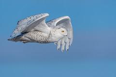 Snowy Owl-7327 (kenbddz) Tags: ontario snowyowl