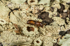 Monarthrum sp. (aliceinwl1) Tags: arthropod arthropoda ca california coleoptera corthylina curculionidae curculionoidea insect insecta irishhillsnaturalreserve monarthrum polyphaga sanluisobispocounty scolytinae scolytini seriescucujiformia snoutbeetle typicalbarkbeetle weevil beetle locpublic viseveryone