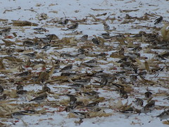 Snow Buntings 3 (D. S. Hałas) Tags: halas hałas canada ontario haltonregion haltoncounty milton trafalgartownship chordata sarcopterygii aves passeriformes calcariidae plectrophenaxnivalis snowbunting bunting bird