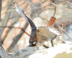 George attempting to pull a squirrel out of a tree hole (Hawker Tahj) Tags: george adult red tailed hawk squirrel central park nyc manhattan