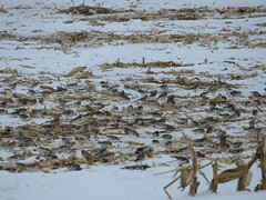 Snow Buntings 2 (D. S. Hałas) Tags: halas hałas canada ontario haltonregion haltoncounty milton trafalgartownship chordata sarcopterygii aves passeriformes calcariidae plectrophenaxnivalis snowbunting bunting bird