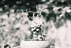 Evernew (Keith Midson) Tags: konica film expiredfilm monochrome vx400 ssc canon fd 55mm plant potplant bokeh f12