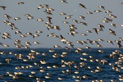 Big glide (v4vodka) Tags: bird birding birdwatching animal nature wildife sanderling biegus piaskowiec stint peep wader sandpiper calidrisalba 三趾鹬 newyork longisland shorebird