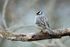 White-crowned Sparrow by Jackie B. Elmore 1-20-2020 Lincoln Co. KY (jackiebelmore) Tags: zonotrichialeucophrys whitecrownedsparrow sparrow lincolnco kentucky nikon850 tamronsp150600f563 jackiebelmore kos