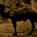 Authentic Contemporary Digital Photograph of a Real Bactrian Camel in an Artificially Created Zoo Environment Intentionally Distorted to Look More like a Vintage Photograph