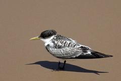 Little Tern (iansand) Tags: littletern tern birubibeach bird portstephens