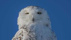 Snowy Owl  6469 (Paul McGoveran) Tags: bif bird birdinflight nature nikon500mmf4 nikond850 ontario owl snowyowl wings