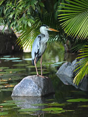Grey Heron (ashockenberry) Tags: wildlife wild wildlifephotography wilderness water white wings wading eco exotic ecosystem reserve rainforest rocky travel tourism tree tropical forest feathers flight game green habitat heron majestic marsh naturephotography nature natural native grey marina bay beautiful light landscape king jungle birding safari ashleyhockenberryphotography singapore