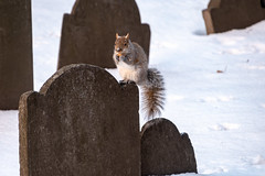 Snow on the nose (matthew:D) Tags: food eating urban wild winter squirrel nature eyes boston aninmal massachusetts unitedstates gravestone snow squirle