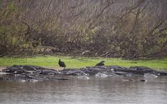 Deep Hole (ap0013) Tags: deephole alligator gator myakka river state park sarasota florida myakkariver statepark sarasotaflorida animal wildlife nature