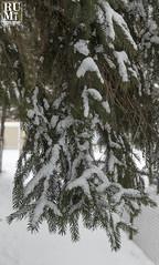 Winter in Niagara (rumimume) Tags: rumimume 2019 niagara ontario canada photo canon 80d snow ice winter cold tree needle evergreen