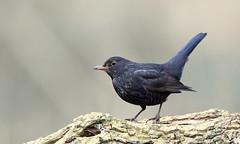 Merle noir (Guillaume Dardant) Tags: nature sauvage oiseaux bird passereaux forêt bois loiret d850 500mmf4 nikon merlenoir turdidés turdusmerula commonblackbird passériformes affût