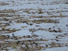 Snow Buntings 5 (D. S. Hałas) Tags: halas hałas canada ontario haltonregion haltoncounty milton trafalgartownship chordata sarcopterygii aves passeriformes calcariidae plectrophenaxnivalis snowbunting bunting bird
