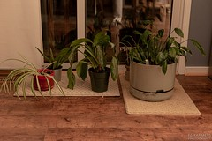 No. 165 - Trying Something New (Emmanuel Z. Karabetis) Tags: 50mm f14 canon 6d brittanys daily house plant plants hdr high range dynamic
