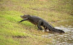 Gator Crossing (ap0013) Tags: deephole alligator gator myakka river state park sarasota florida myakkariver statepark sarasotaflorida animal wildlife nature