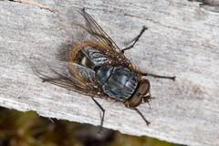 Golden blowfly (zosterops) Tags: calliphoridae diptera australia tasmania strathgordon canoneos6d canonmacrolensmpe65 macro insecta calliphora tasmaniae