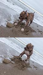 Kratos, Uninhibited (Emmanuel Z. Karabetis) Tags: 1635mm f28 canon 5d kratos dog dogs pit bull pitbull pleasure island kure beach north carolina