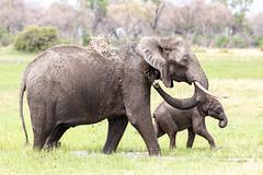 Elephant´s spa (Thomas Retterath) Tags: nature natur wildlife safari nopeople 2019 okavangodelta botswana africa afrika khwai bigfive africanelephant elefant elephantidae pflanzenfresser herbivore säugetier mammals animals tiere loxodontaafricana