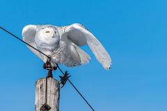 Snowy Owl-7318 (kenbddz) Tags: ontario snowyowl
