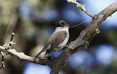 Curruca capirotada IMG_4361 (Julian Munilla Rio) Tags: ave curruca pajaro