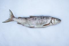 Lake Whitefish | Coregonus clupeaformis (Paul B Jones) Tags: pointtraverse princeedwardcounty ontario canada lakewhitefish coregonusclupeaformis catch food fish fishing canon eosm6 efm1122mmf456