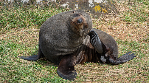 New Zealand Fur Seal #2