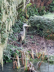 Photo of 082938 Grey Heron