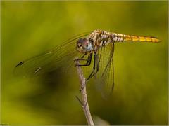 Libélula violeta. (josemph) Tags: olympus e3 sigma 105mm macro zuiko ec14 insectos odonatos anisópteros libélulavioleta trithemisannulata