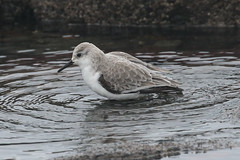Sanderling (Dougie Edmond) Tags: southayrshire scotland unitedkingdom bird nature wildlife wader shore sea side beach