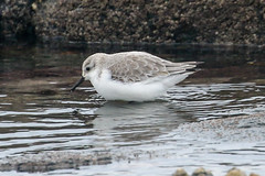 Sanderling (Dougie Edmond) Tags: scotland southayrshire sea bird nature unitedkingdom wildlife shore wader beach side