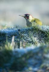 Green Woodpecker (Benjamin Joseph Andrew) Tags: one lone single individual bird passerine songbird frozen cold winter wintry frosty chilly freezing grassland meadow field