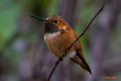 IMG_4498 'rufous' hummingbird (starc283) Tags: rufous hummingbird bird birding nature wildlife canon nectar starc283 people flicker flickr rufoushummingbird