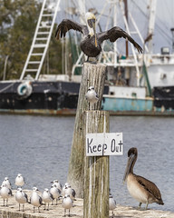 IG That Means You_MG_6471 (Alfred J. Lockwood Photography) Tags: bird brownpelican seagull noon louisiana cajuncountry grandisle autumn fall harbor wildlife travel humor keepout notrespassing