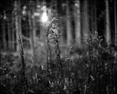 sonnenaufgang (jo.sa.) Tags: natur wald sonne analog analogefotografie schwarzweiss schwarzweissfotografie plaubel makina67 mittelformat rollfilm rodinal standentwicklung sw bw 6x7 gräser lebensraum fomapan400