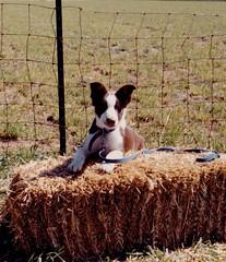 border collie pup (Muzik Hounds) Tags: border collie pup puppy