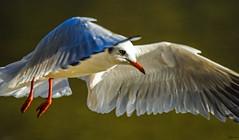 Blackheaded Gull in flight (Larus ridibundus, Mouette rieuse). Jardin du Stangalard, Brest, Finistère, France. 2020/01/19. (joelgambrelle) Tags: nikon brest larusridibundus blackheadedgull lachmöwe mouetterieuse stangalard france nature bretagne oiseau laridé