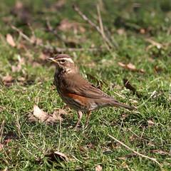 Redwing! (RiverCrouchWalker) Tags: redwing turdusiliacus bird london january 2020 winter greenwichpark deerenclosure thrush