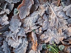 20200121-_1498046.jpg (colemanr20) Tags: parkland morning frosty winter leaves nationaltrust frost sheringhampark walks walk woodland oak cold