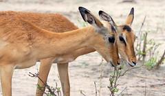 Impala in Botswana (RJAB2012) Tags: impala ewe female antelope botswana africa chobenationalpark chobe 100v10f