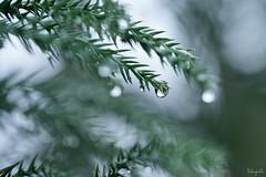 Winter rain (takapata) Tags: sony sel90m28g ilce7m2 macro nature green raindrop droplets