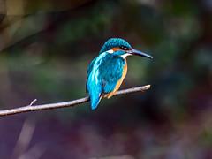 Kingfisher (Craig Hannah) Tags: kingfisher bird wildlife nature twig fishing oldham daisynook lancashire greatermanchester canon photography craighannah january 2020