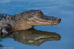 Alligator Reflection (Linda Martin Photography) Tags: gatorland usa alligator wildlife nature animal florida