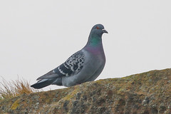 Rock Dove / Feral Pigeon (Dougie Edmond) Tags: southayrshire scotland unitedkingdom bird nature wildlife