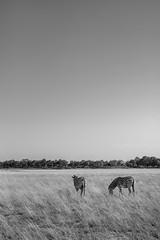 Striped (stephen cosh) Tags: africa blackandwhite leica75mmaposummicron leicam10 nature safari stephencosh zebra okavango northwestdistrict botswana