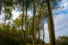 Gespensterwald (jörg_grontzki) Tags: mystic mystisch germany forest tree wald baum bäume nienhagen balticsea licht reise travelpics küste kühlungsborn heiligendamm ostsee vorpommern mecklenburg gespensterwald