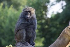 Olive baboon (Racquel Heron) Tags: baboon ape primate animal mammal animals zoo bokeh toronto ontario canada