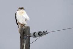 Ferruginous hawk (Buteo regalis) (rangerbatt) Tags: ferruginoushawk hawk buteoregalis skullvalley wildutah utahwildlife d7500 sigma150600mmsports westdesert greatbasin