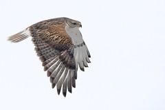 Ferruginous hawk (Buteo regalis) in flight (rangerbatt) Tags: ferruginoushawk hawk buteoregalis bif birdinflight ferruginoushawkinflight skullvalley wildutah utahwildlife d7500 sigma150600mmsports greatbasin westdesert